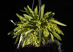 Epi. rousseauae 'Maryrose' CCM HOS