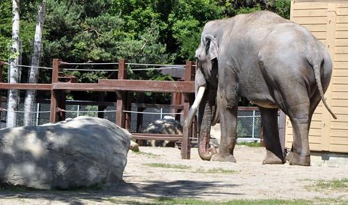Elefant mit Metallstosszahn