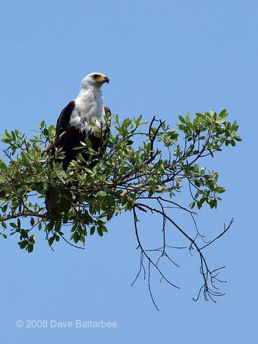 African Fish Eagle in Okavango Delta