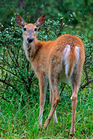 white-tailed_deer_5924np