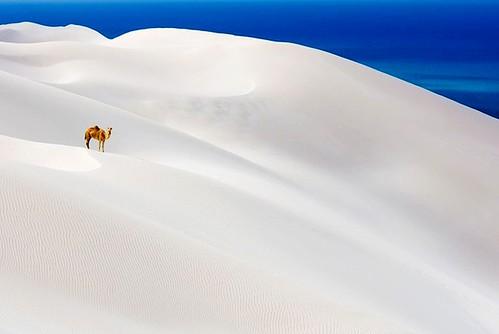 Camel Socotra Island