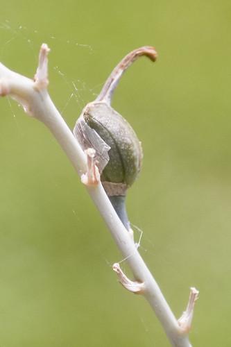 Haworthia limifolia var. limifolia developing fruit