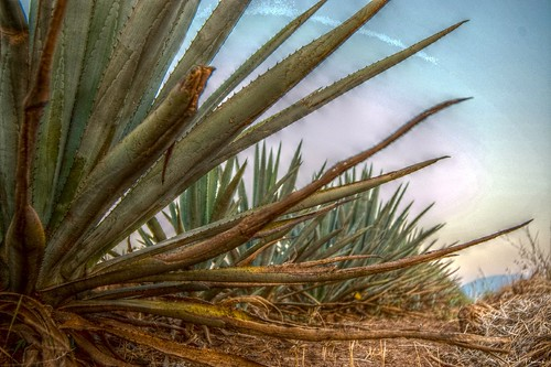 Agaves, Tequila Jalisco Mexico