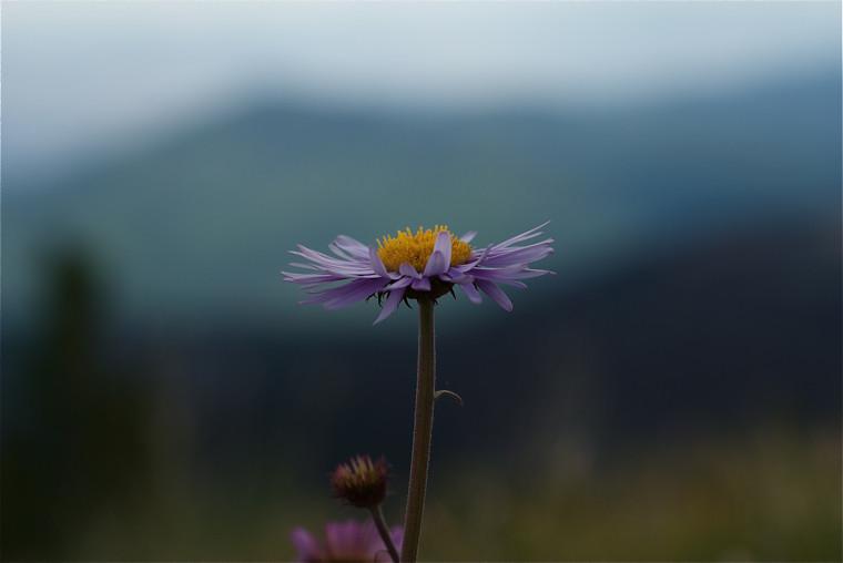 Wildflowers on Thompson Peak