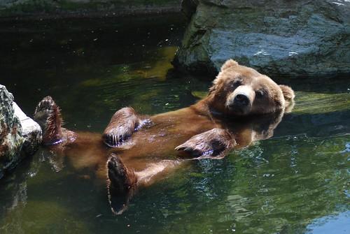 Grizzly im Kölner Zoo