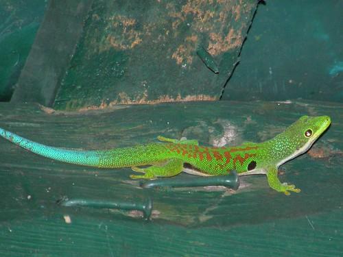 Gecko diurno (Phelsuma quadriocellata)