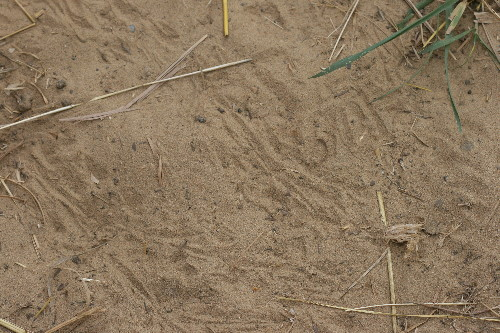 Baby snapping turtle tracks