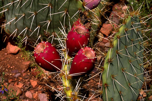Prickly Pear 003