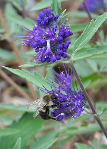 bluebeardflowerwithbee