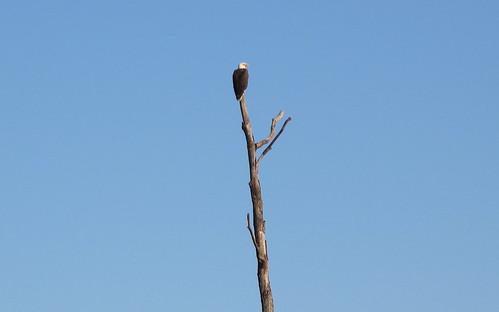 Bald Eagle at the Blackwater Wildlife Refuge
