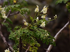 The Miracle Tree in Brisbane (Moringa oleifera)