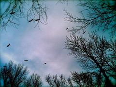 Storm Buzzards (2)