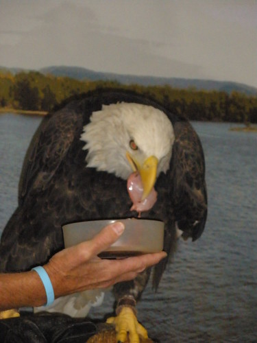 Eagle Eating a Meal