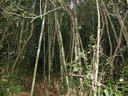 Bambú gigante de Madagascar (Cathariostachys madagascariensis)