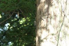 三保市民の森のツクツクホウシ