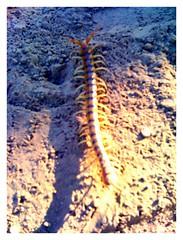 centipede (four)