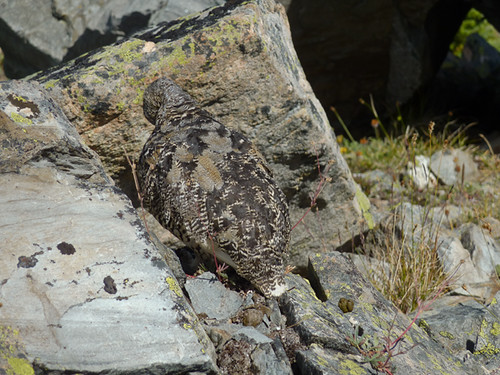 White-tailed Ptarmigan mom