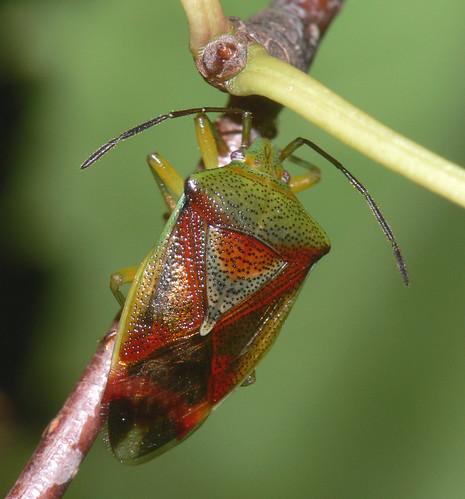Birch Shieldbug (Elasmostethus interstinctus)