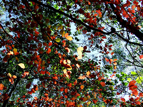 autumn foliage on black gum (Nyssa sylvatica)