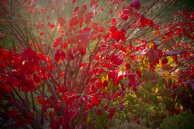 {295/365} burning bush