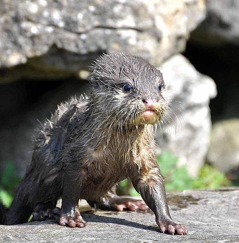 very wet otter pup stepping out on some rocks
