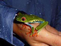 Schon vor dem Kuss ein schoener Frosch, Fortuna