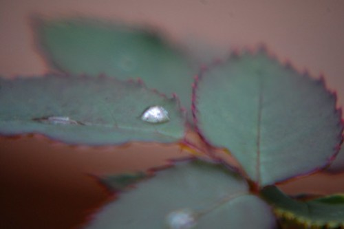 Rose Leaf & Water Drops
