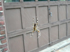 Backyard spider