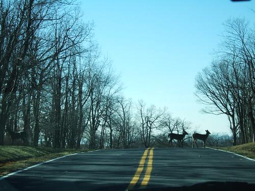 Blue Ridge Mountain Deer