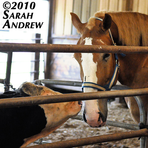 Horse, meet Cow...