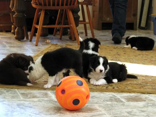 1508 puppies amuck