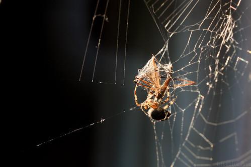 Spider enveloping crane fly in spider silk