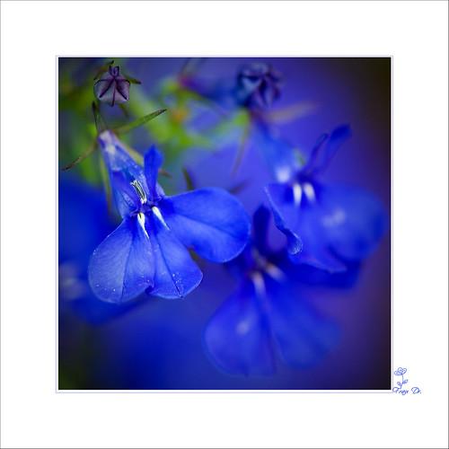 Blaues