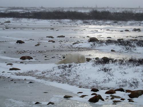 A Polar Bear near Churchill