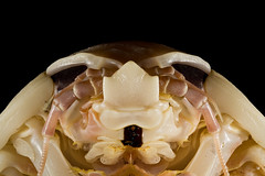 Head view of Giant Isopod, showing the compound eyes, each of which has an estimated 4000 facets.