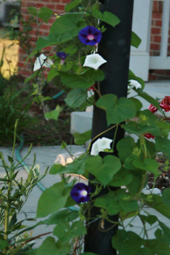 365-252 Morning glory