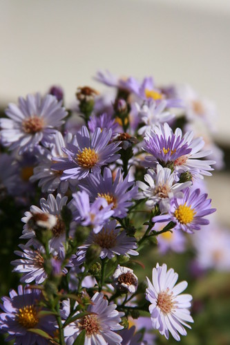 365-260 More Asters