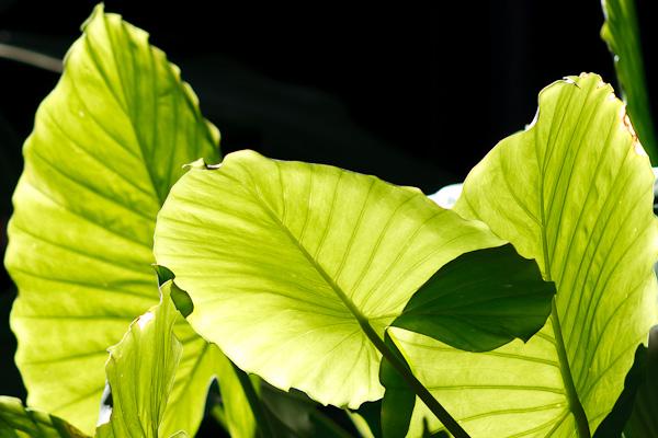 Backlight shining through a broadleaf plant