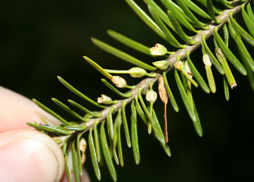 Balsam gall midge, Paradiplosis tumifex
