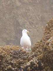 the regal gull