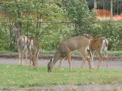 4 Deer in Two Harbors