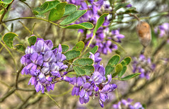 Mountain Laurel Spring (HDR)