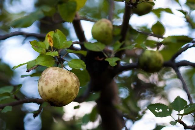 {272/365} apple tree