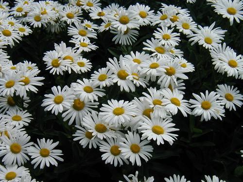 NYBG_Montauk Daisy_2