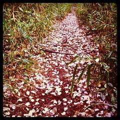 何処からか運ばれた桜の花弁がトレイルを彩ります。六浦霊園付近。