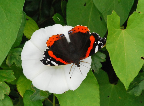 Red admiral on a bindweed flower