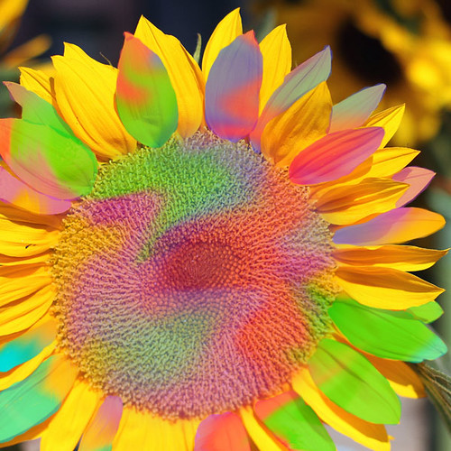 pastel sunflower