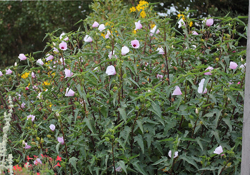 Hibiscus cisplatinus habit