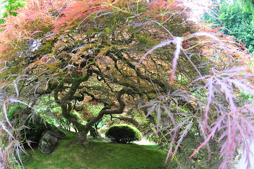 Japanese Maple Tunnel