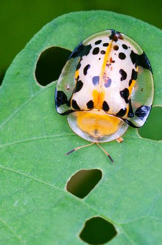 Spotted Tortoise Beetles